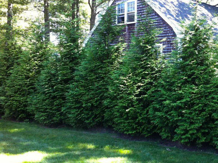 thuja green giants by house