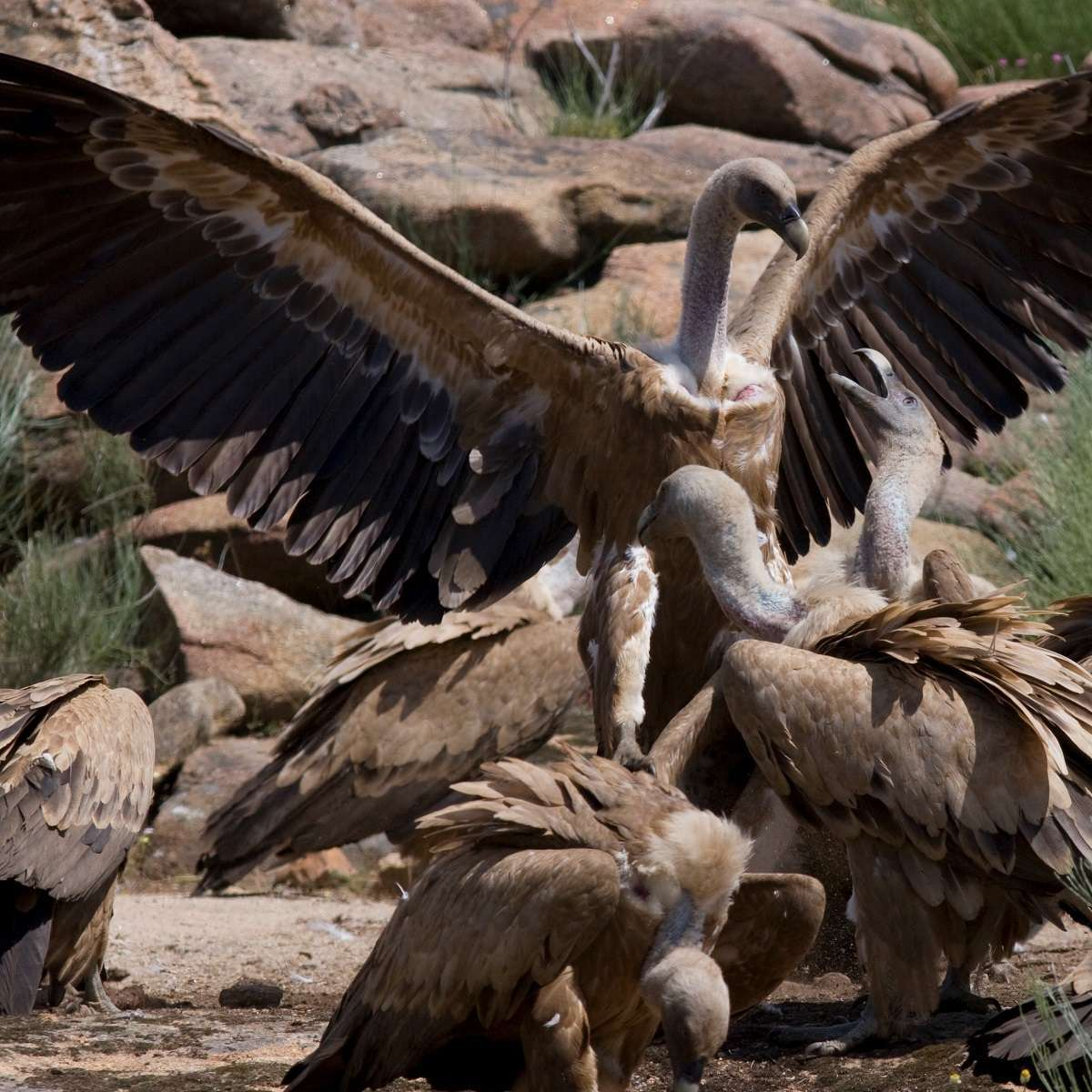 A committee of Griffon vultures feeding