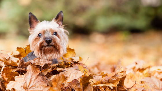 Small Yorkshire Terrier sitting in a pile of leaves