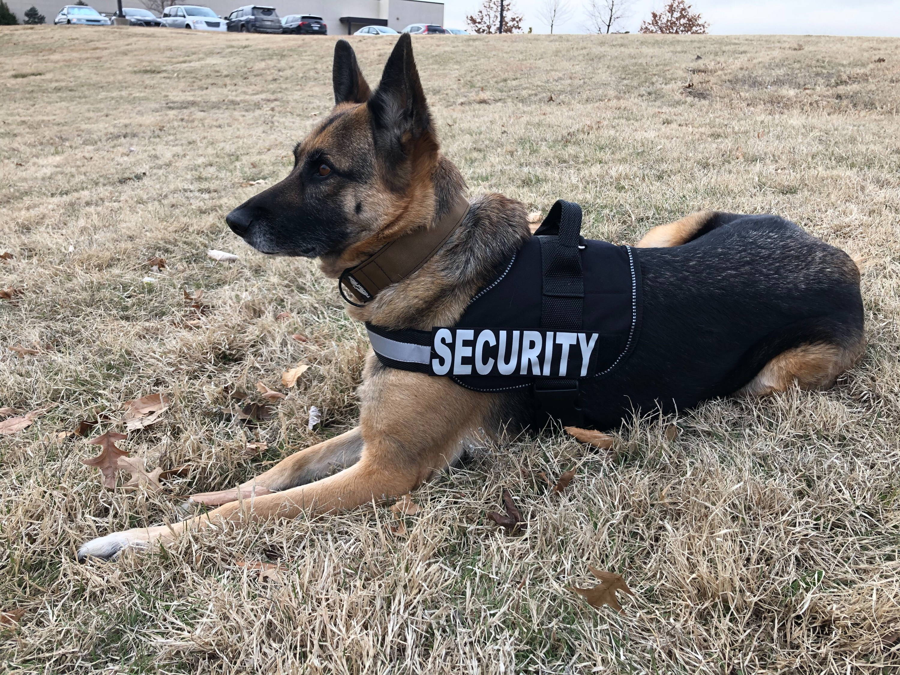 German shepard in a tactical security vest