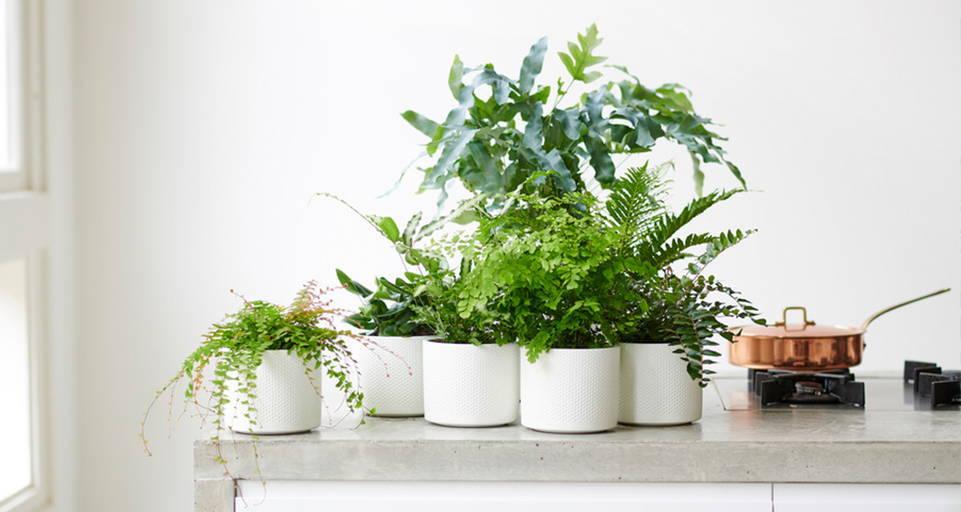 La plante d'intérieur – La Fougère