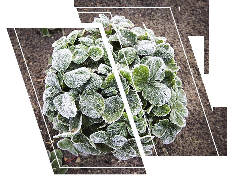 A plant showing freeze damage