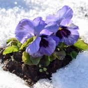 Winter-hardy violets
