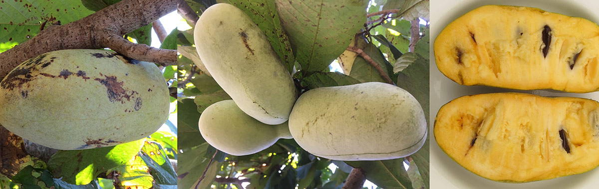 Pawpaws in a tree and cut open