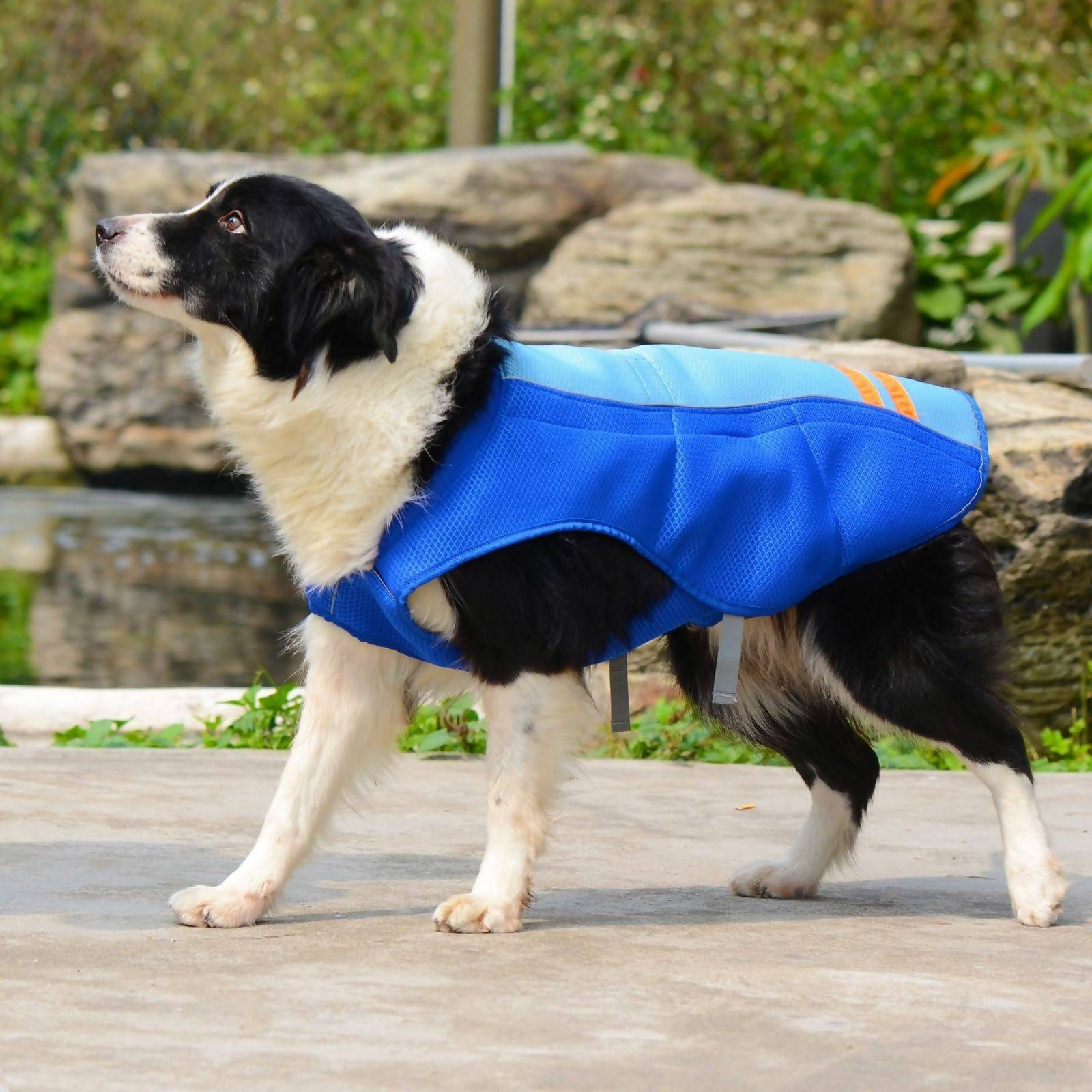 A Border Collie enjoying the summer with a pet cooling vest. Photo by Walmart