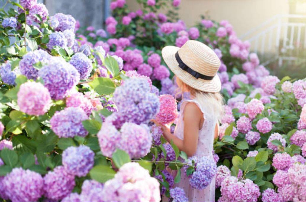 Hydrangeas Growing In Sun Or Shade