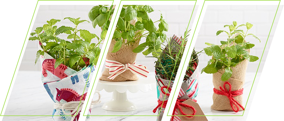Plants being gift wrapped