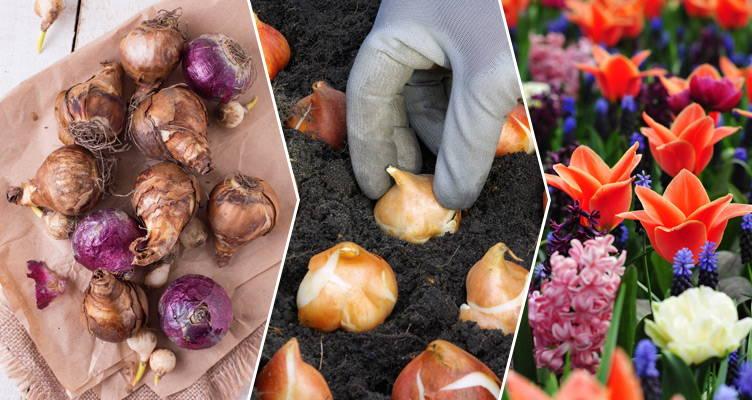 Plantation des bulbes à fleurs
