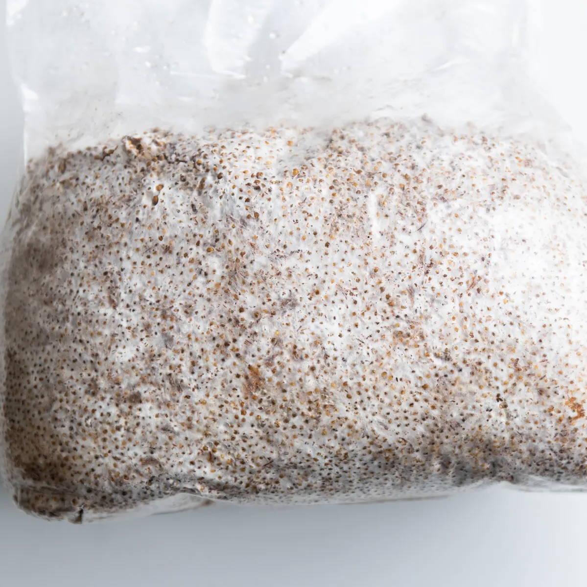 grain spawn