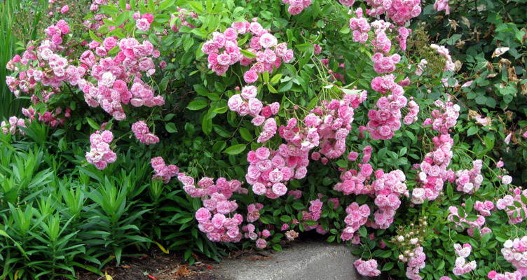 All you need to know about ground-cover rose bushes