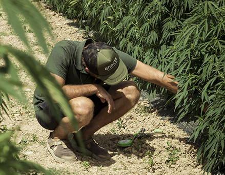 敬意を持って大麻を栽培しているエネクタチーム、CBDオイルカンパニー