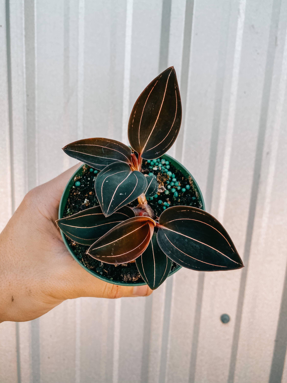 Jewel Orchid 'Ludisia Discolor'