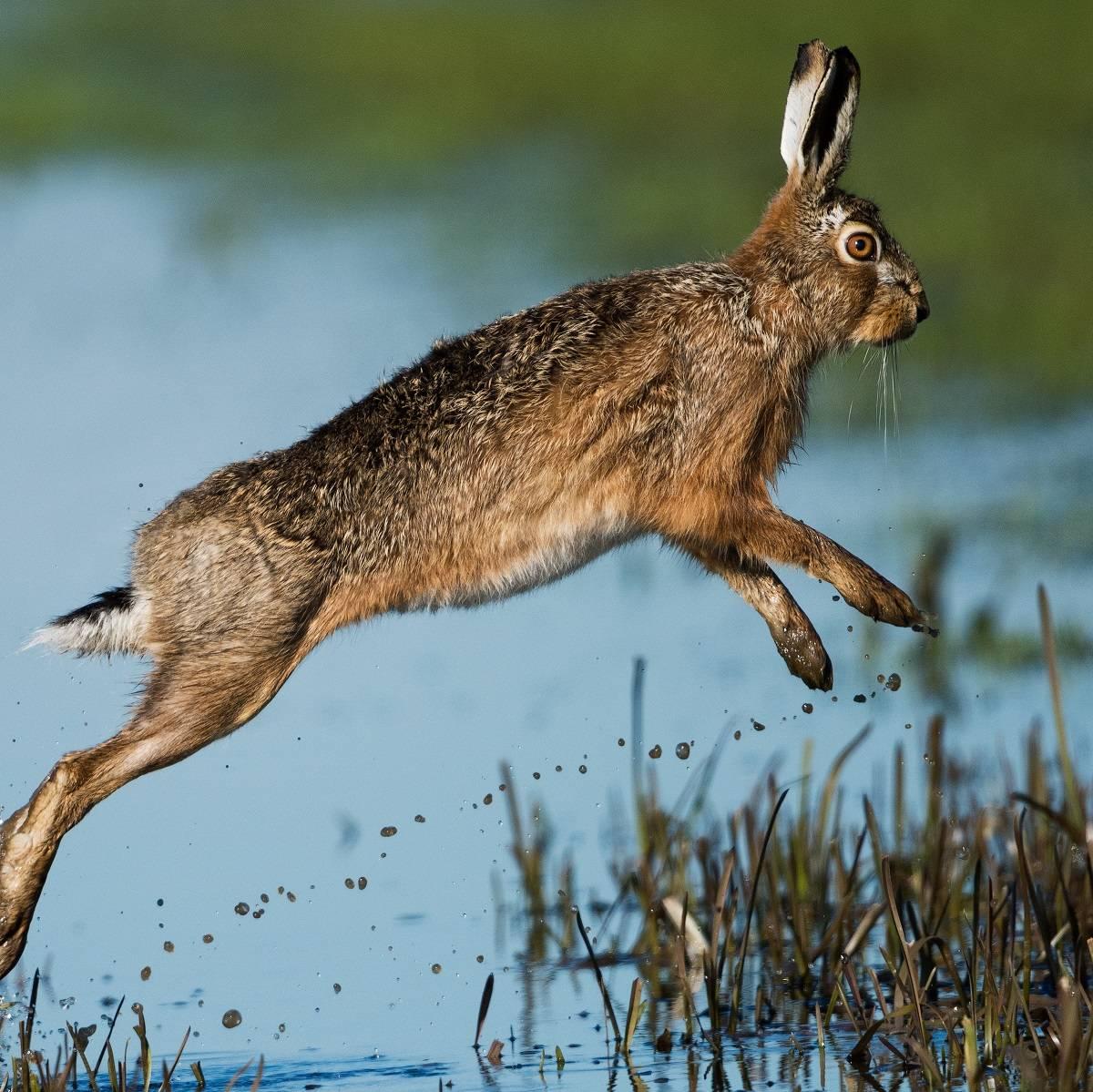 A European hare jumps through water