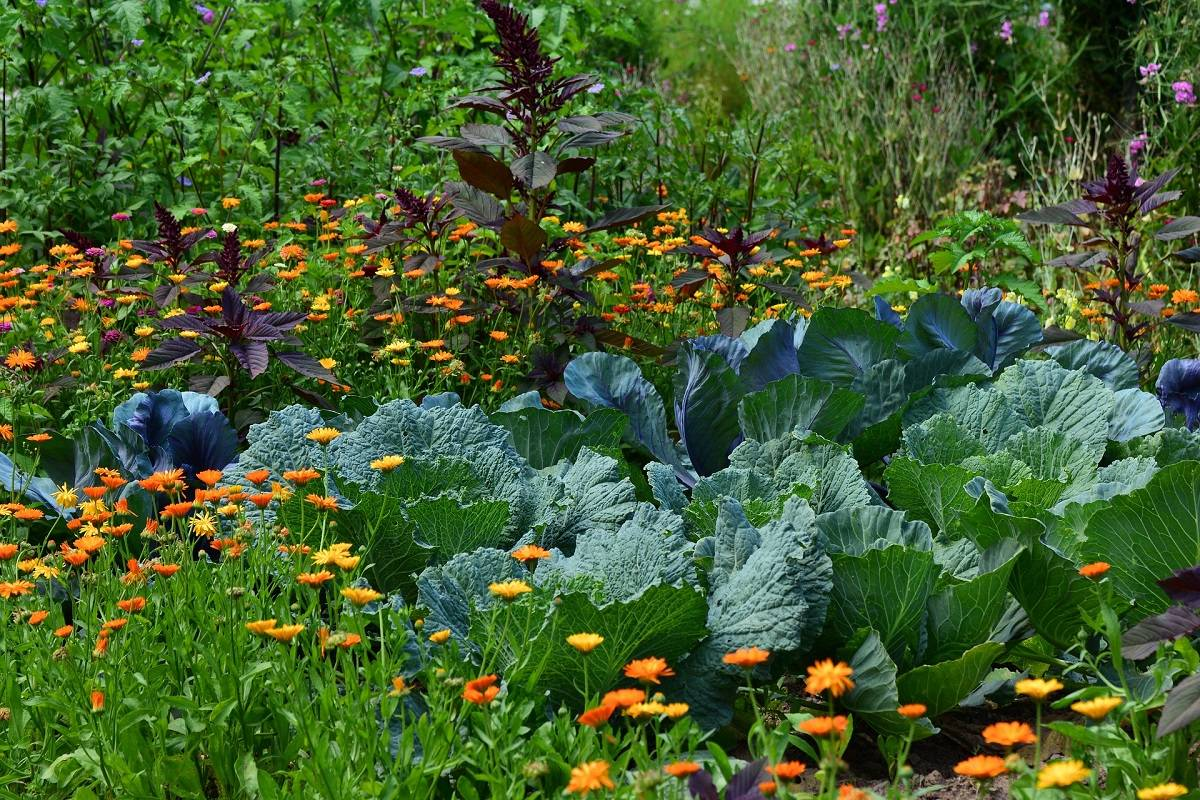 A vegetable patch of white cabbages surrounded by wild flowers and aromatic herbs