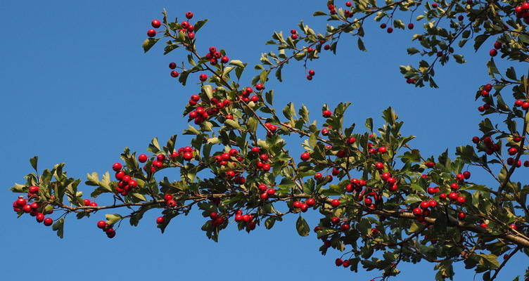 Pruning Hawthorn