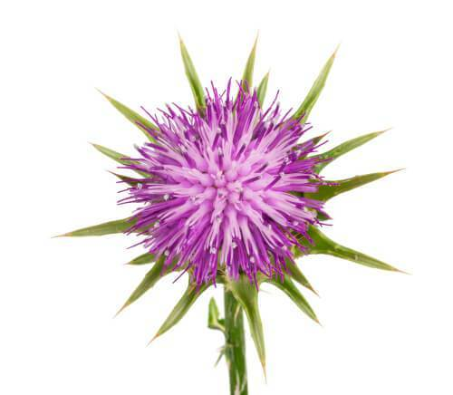 Milk thistle flower featured image
