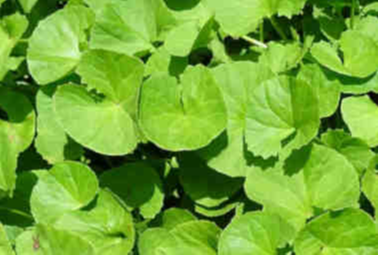 Gotu Kola repairs skin and reduces acne