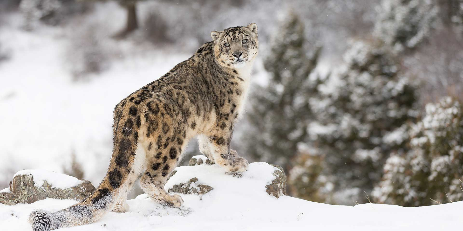 Snow Leopard Wildlife photography tour and expeditions