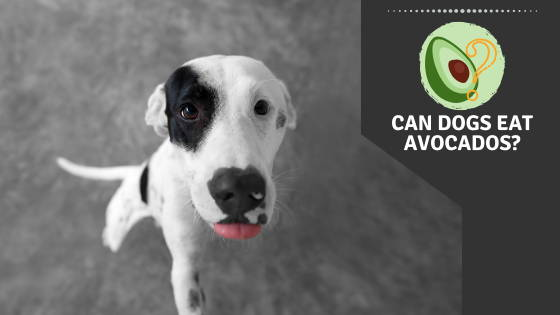 Can Dogs Eat Avocados