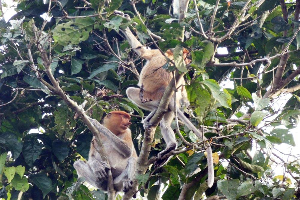 Travelbay Borneo Tours - Neil & Fiona in Borneo - Customer Review - Kinabatangan River safari, proboscis monkeys