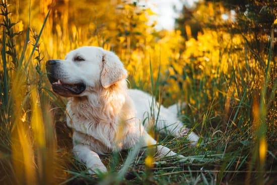 A white dog laying in tall green grass at sunset