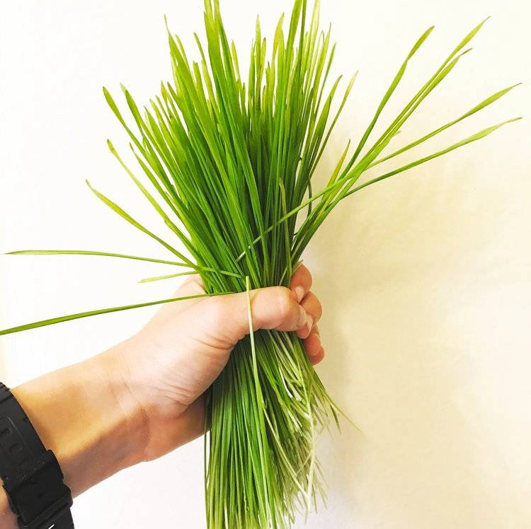 Organic wheatgrass grown in a wheatgrass kit at home.