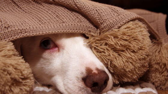 White dog looking out from under a brown blanket