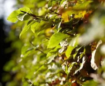 When to prune a beech bush