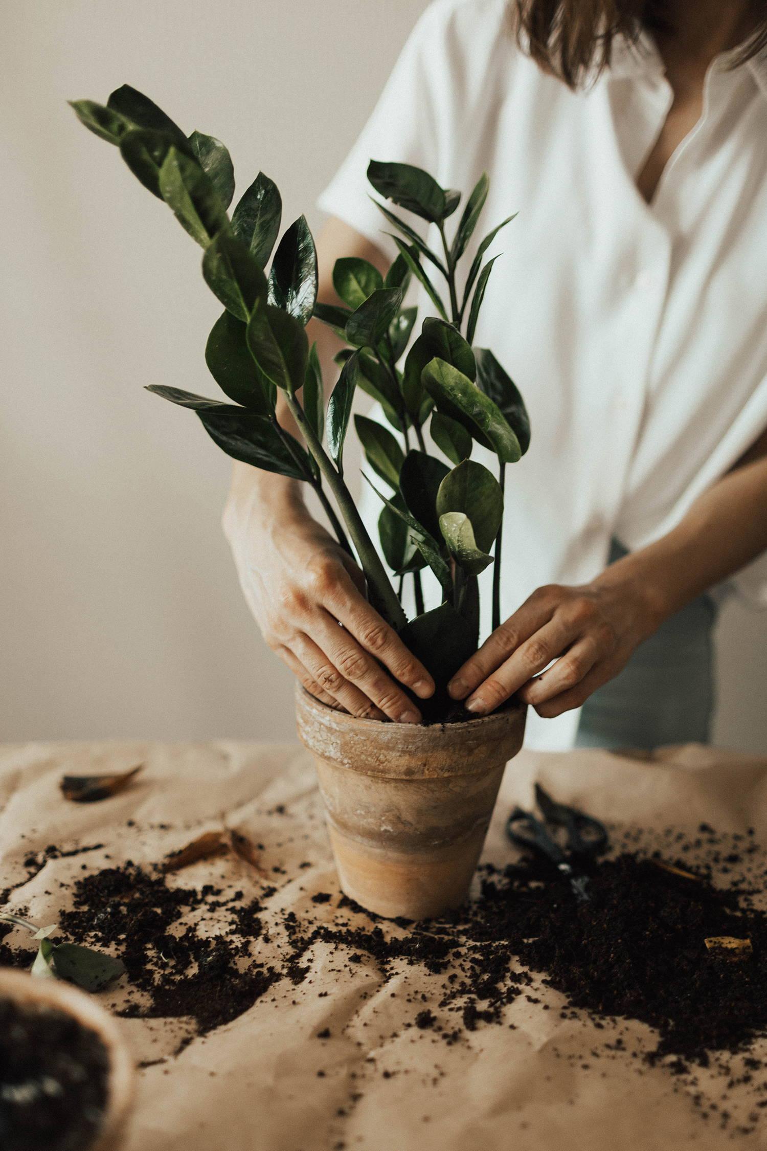 A botany expert repotting a new ZZ houseplant.