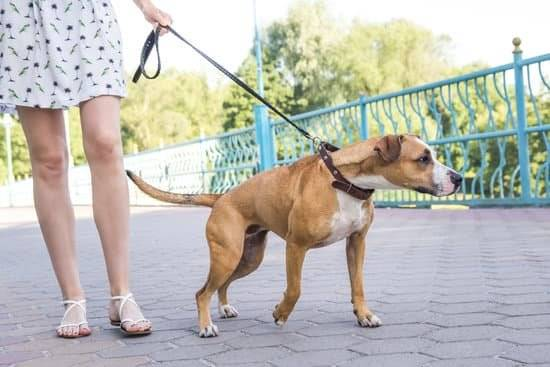 A brown and white dog being walked by her owner. The dog is pulling on the leash.