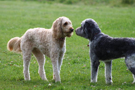 Two dogs face each other in a field of green grass