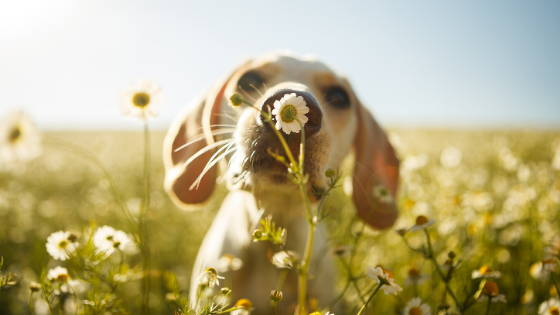 dog smelling a dandelion in a field