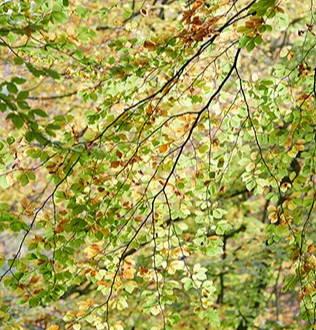 When to prune a beech tree