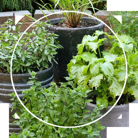 Herb plants in the garden