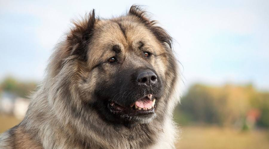 caucasian shepherds belong to the huge or giant breed category