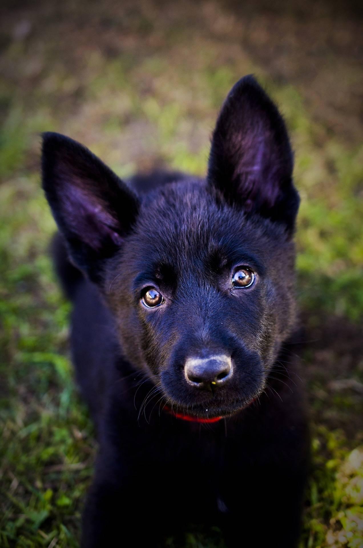 Black German Shepherd The Ultimate Breed Guide Petventuresbook