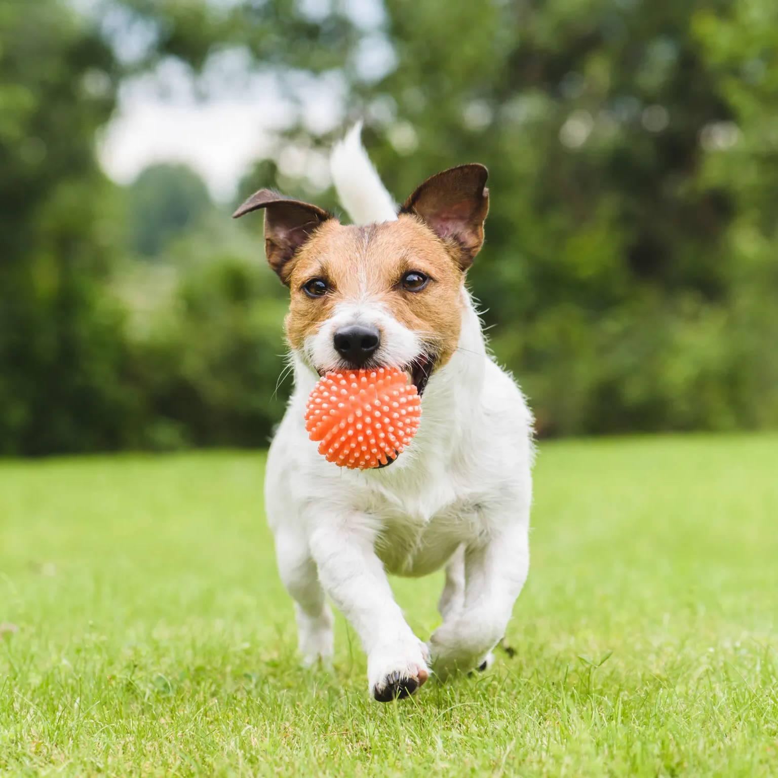 dog fetching a ball back