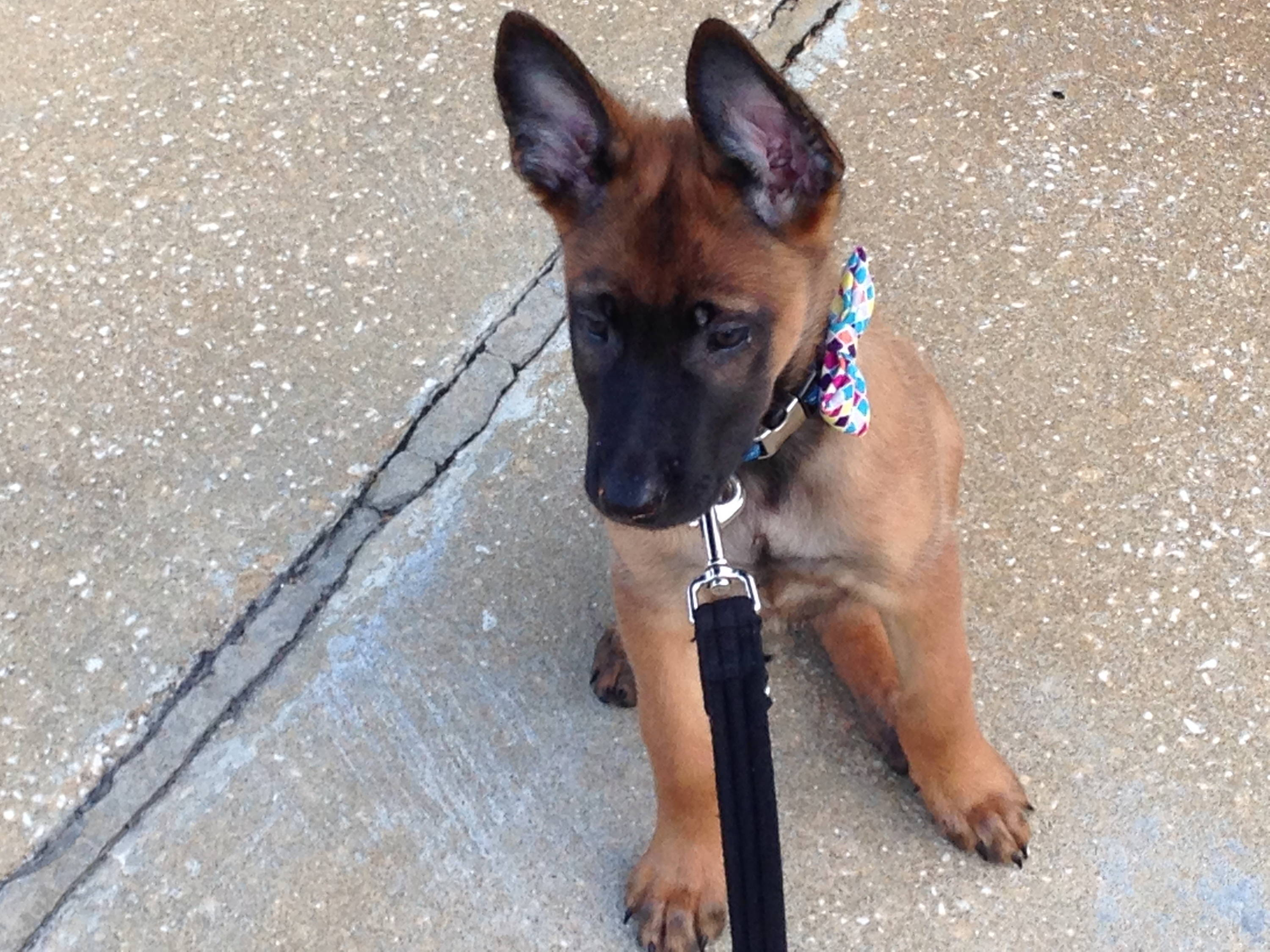 Belgian Malinois puppy in bow-tie