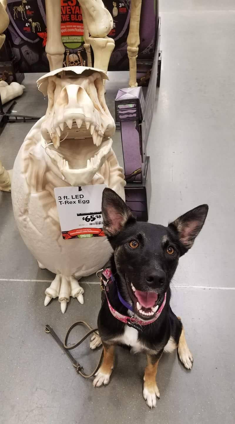 k9 showing teeth next to halloween dinosaur
