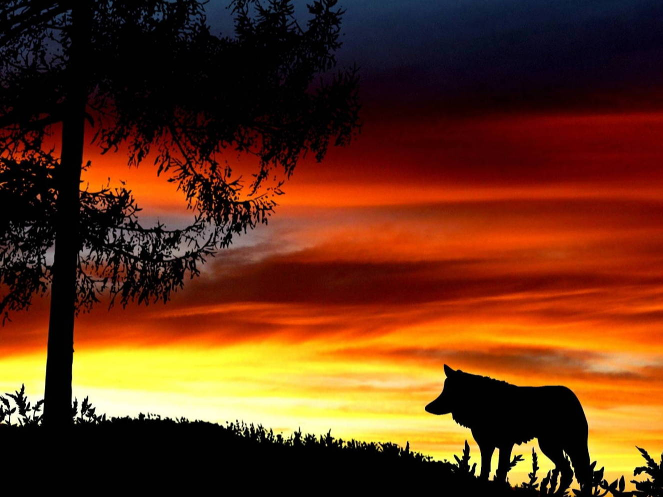 A silhouette of a wolf against an orange and yellow sunset