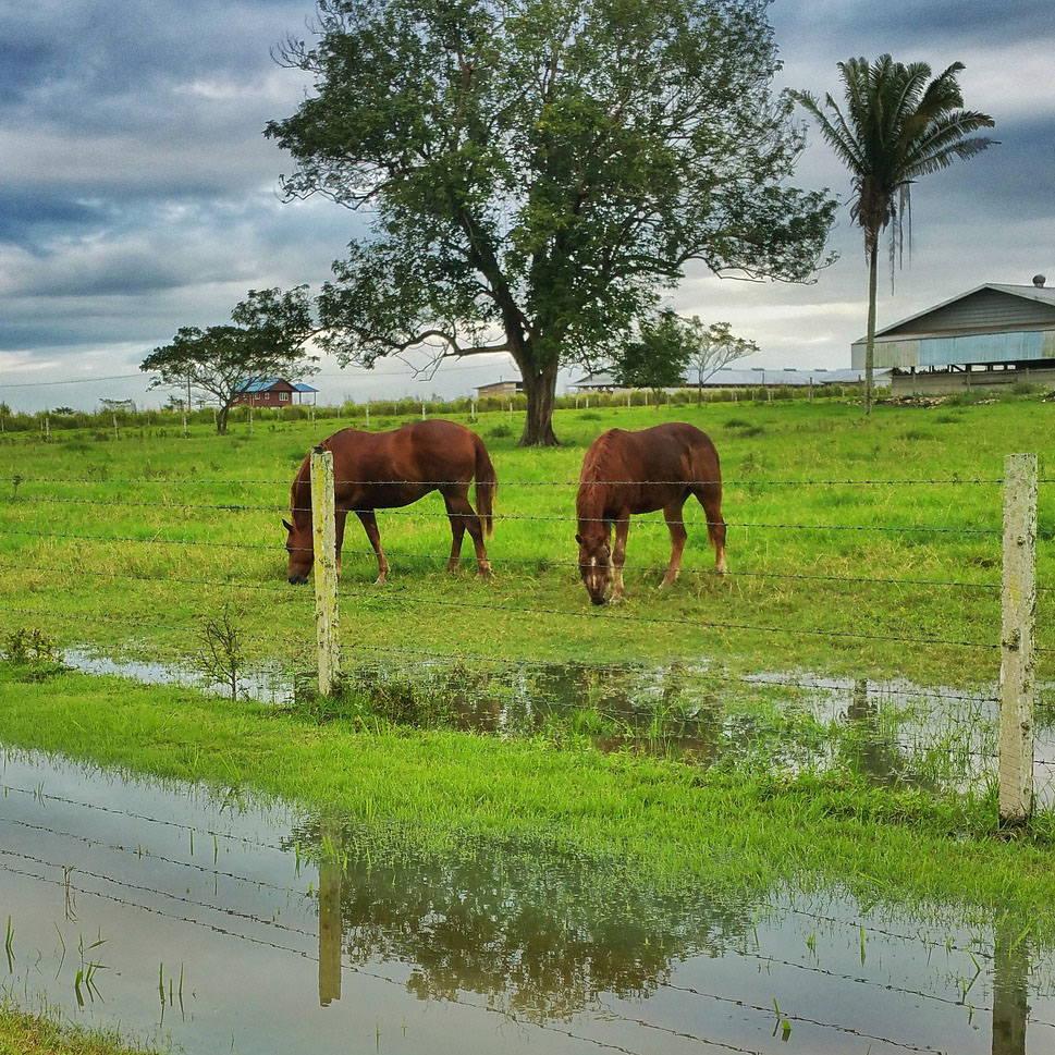 Spring Showers Bring Rain Rot Horses in pasture
