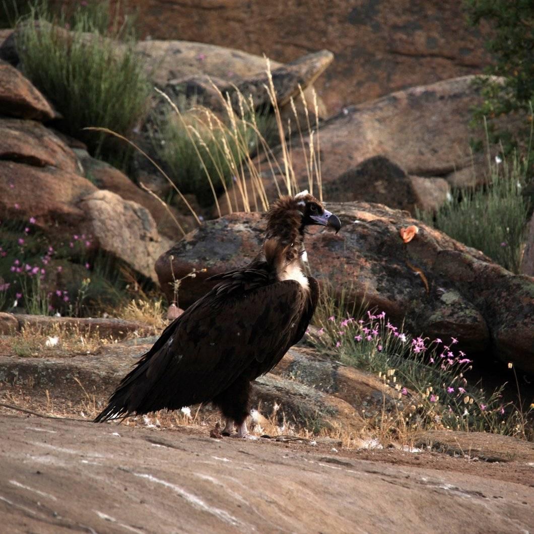 A black vulture a top a crop of granite rocks