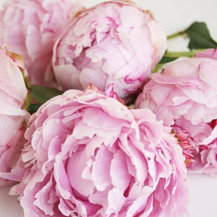 peony wedding flower bulk