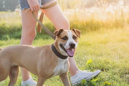 A tan and white Staffordshire Terrier is walked on a leash by a person in a grassy field