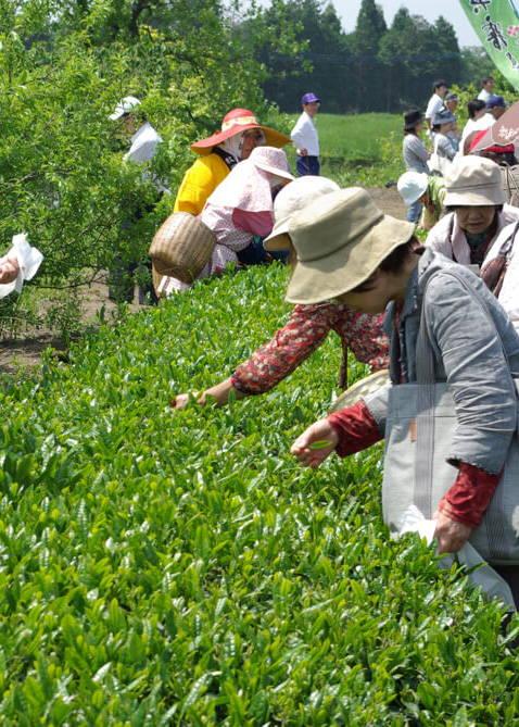 kagoshima seicha tea-picking tour