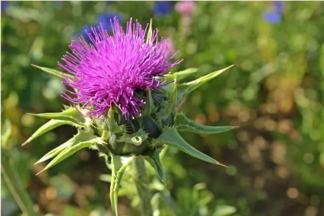 Blüte der Mariendistel. Aus ihr wird das Mariendistel Extrakt extrahiert, welches noch heute sehr beliebt ist.
