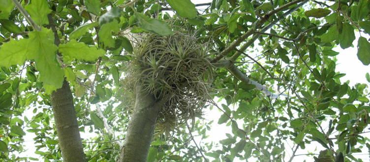 Le Tillandsia dans son environnement naturel