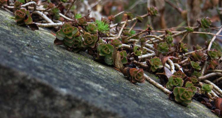 Schaduwminnende bodembedekkers