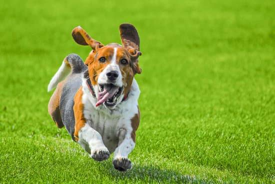 A brown, white, and black Bassett Hound runs with its tongue out on green grass