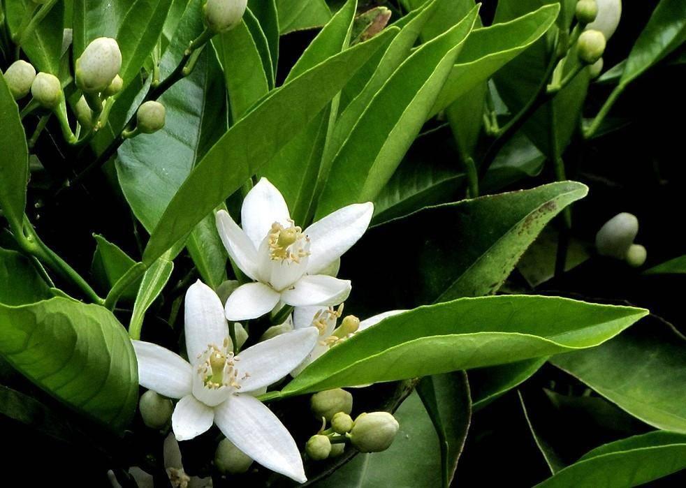 Petitgrain planta